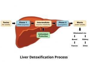Liver Detoxification Process